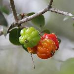 owoc na e eugenia