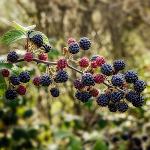 owoc na j jeżyna