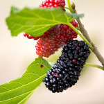 owoc na m morwa