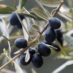 owoc na o oliwka