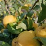 owoc na p pigwa