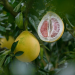 owoc na p pomelo