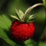 owoc na p poziomka