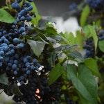 owoc na w winogrono
