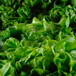 warzywo na s sałata
