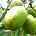 owoc na ś - śliwiec słodki