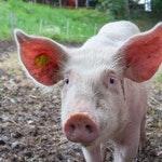 zwierzę na ś - Świnia